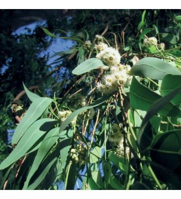 Eucalyptus Citriodora - 1