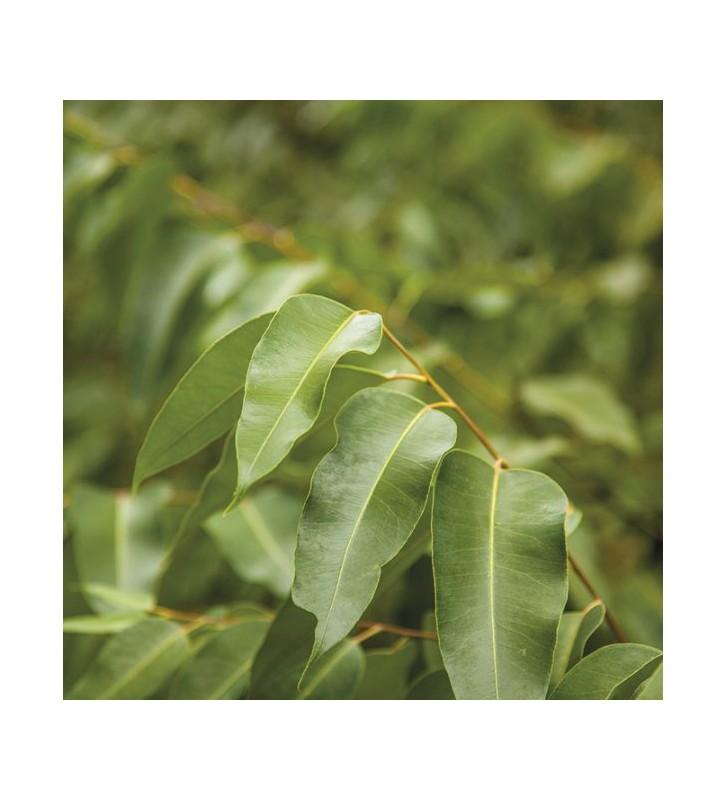 Eucalyptus Radiata - 1