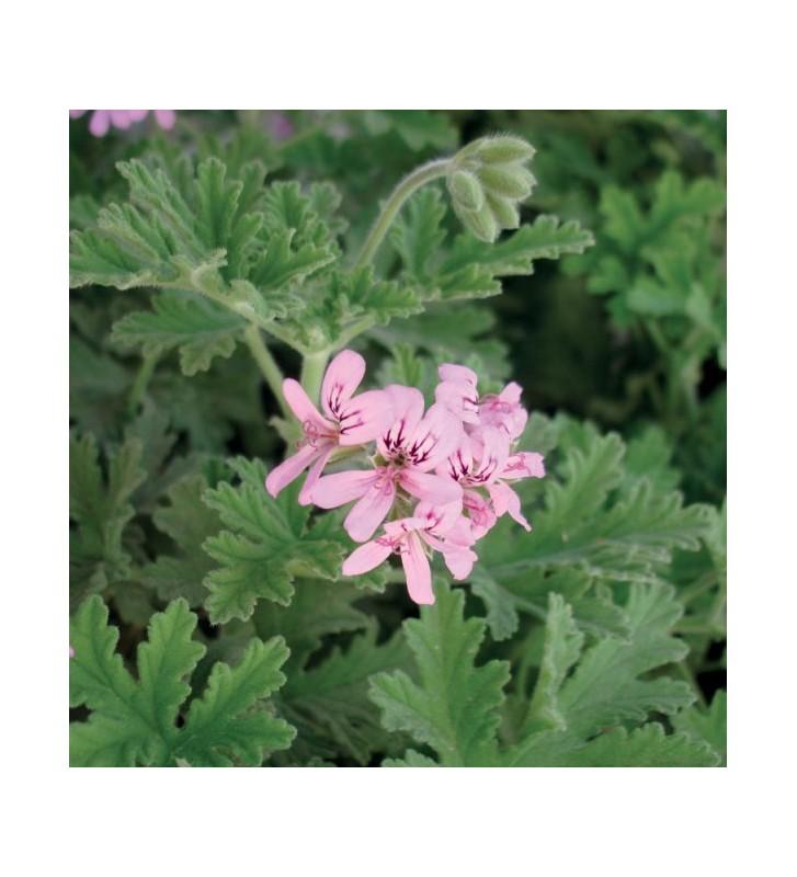 Geranium Rose - 1