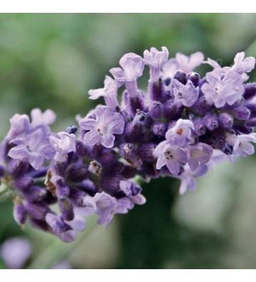 Lavendel Vera - 1
