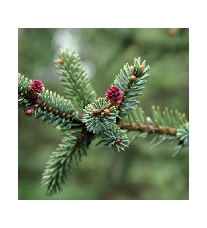 Picea Mariana - 1
