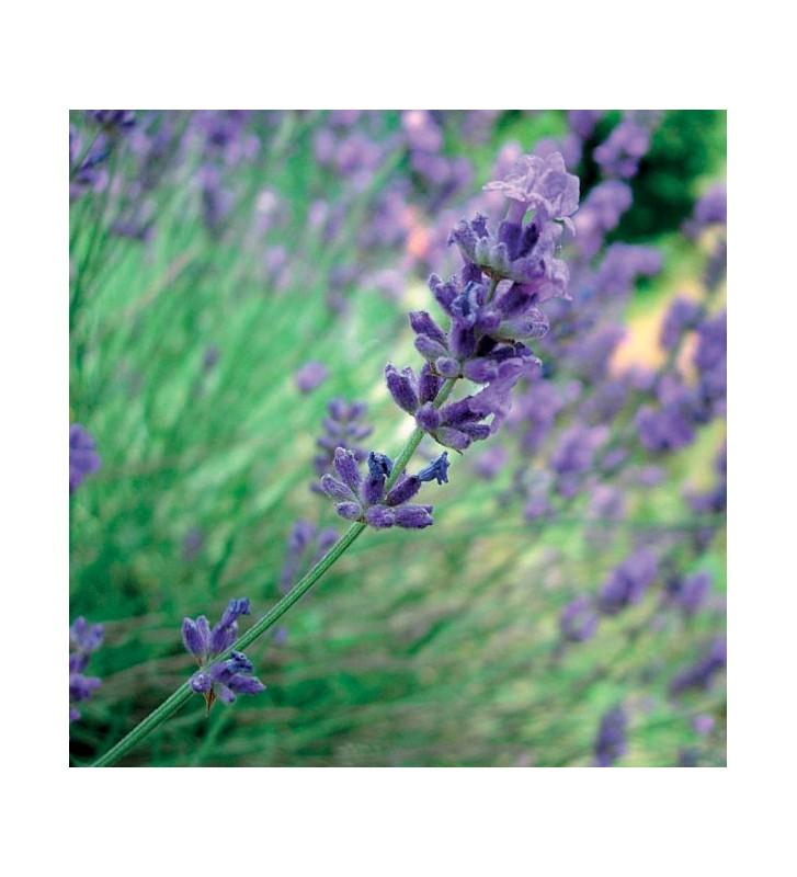 Lavendel Spike - 1